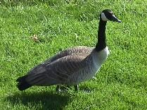 [Image of a Chicago-Area Goose]